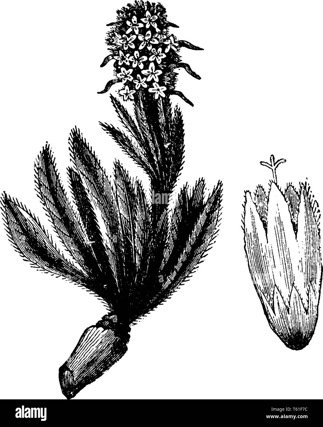 Campanula Thyrsoidea has a narrow and hairy leaves. It has simple stem and yellow flowers with a greenish tint, vintage line drawing or engraving illu - Stock Image