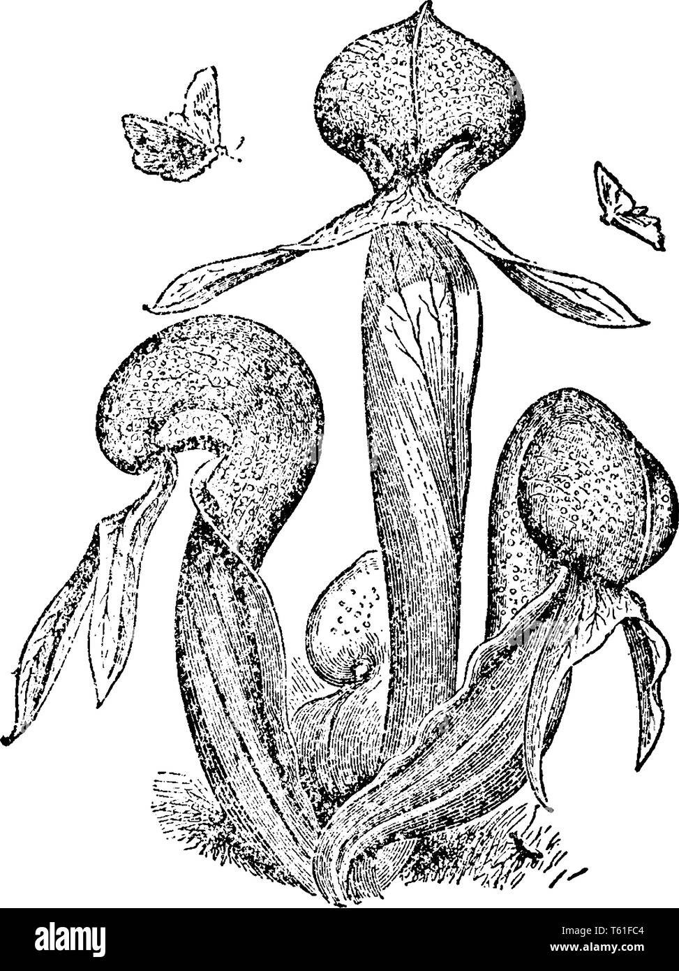Darlingtonia californica also called the California pitcher plant. They are Himalayan regions growing in bogs and seeps with cold running water, vinta - Stock Vector