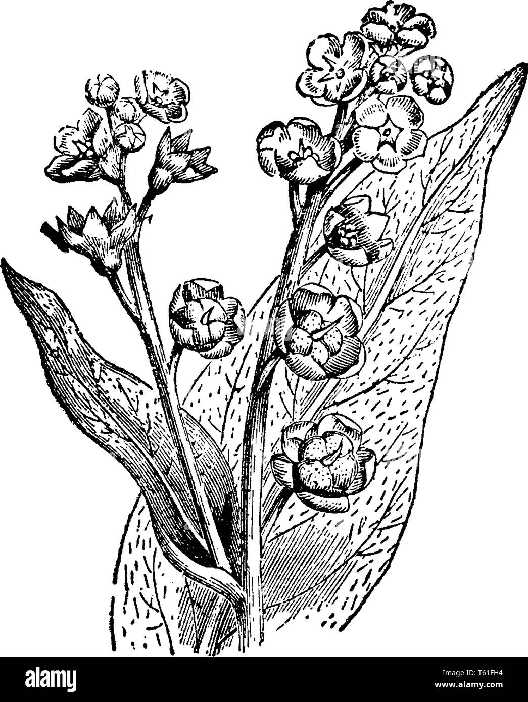 Mature hound tongue plants have a woody taproot, with rough, hairy, wide leaves. Each flower produces four rounded-triangular seeds covered with hooke Stock Vector