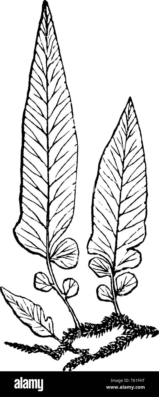 A picture is showing Polypodium Filipes. This is a younger version of Polypodium Tenellum, vintage line drawing or engraving illustration. - Stock Vector