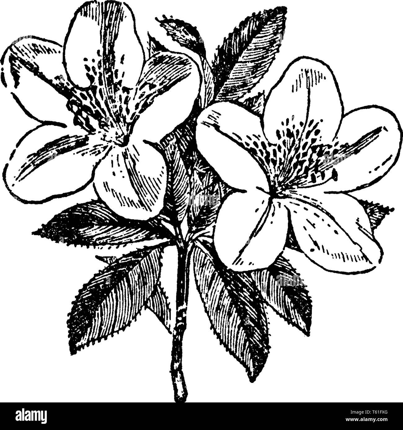 An Azalea is small tree, shrub of flower. Flowers grow only one bloom per stem. The leaves are below the flower, vintage line drawing or engraving ill - Stock Vector