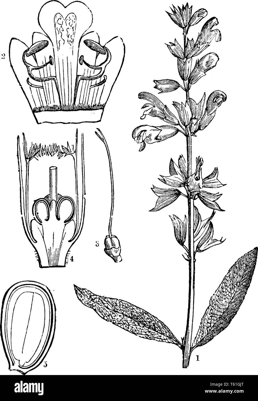 A picture describing the various parts of Common Sage or Salva officinalis. Such as its corolla opens, the pistil and the lower part of the flower ope Stock Vector