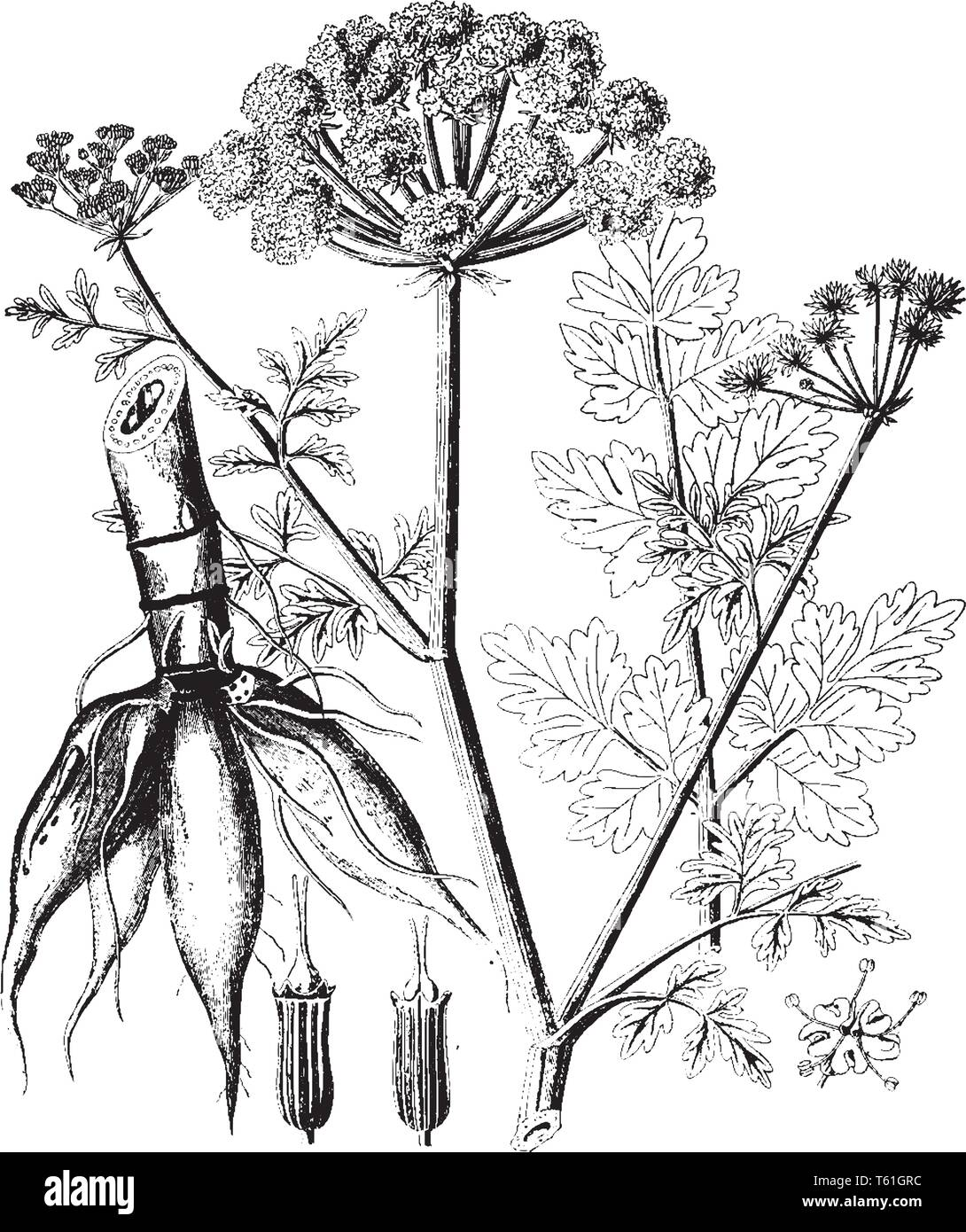 Most poisonous indigenous plant in Britain. It is a member of the Umbellifer family and is found in ditches, damp meadows, in steams, by riverbanks, a - Stock Vector