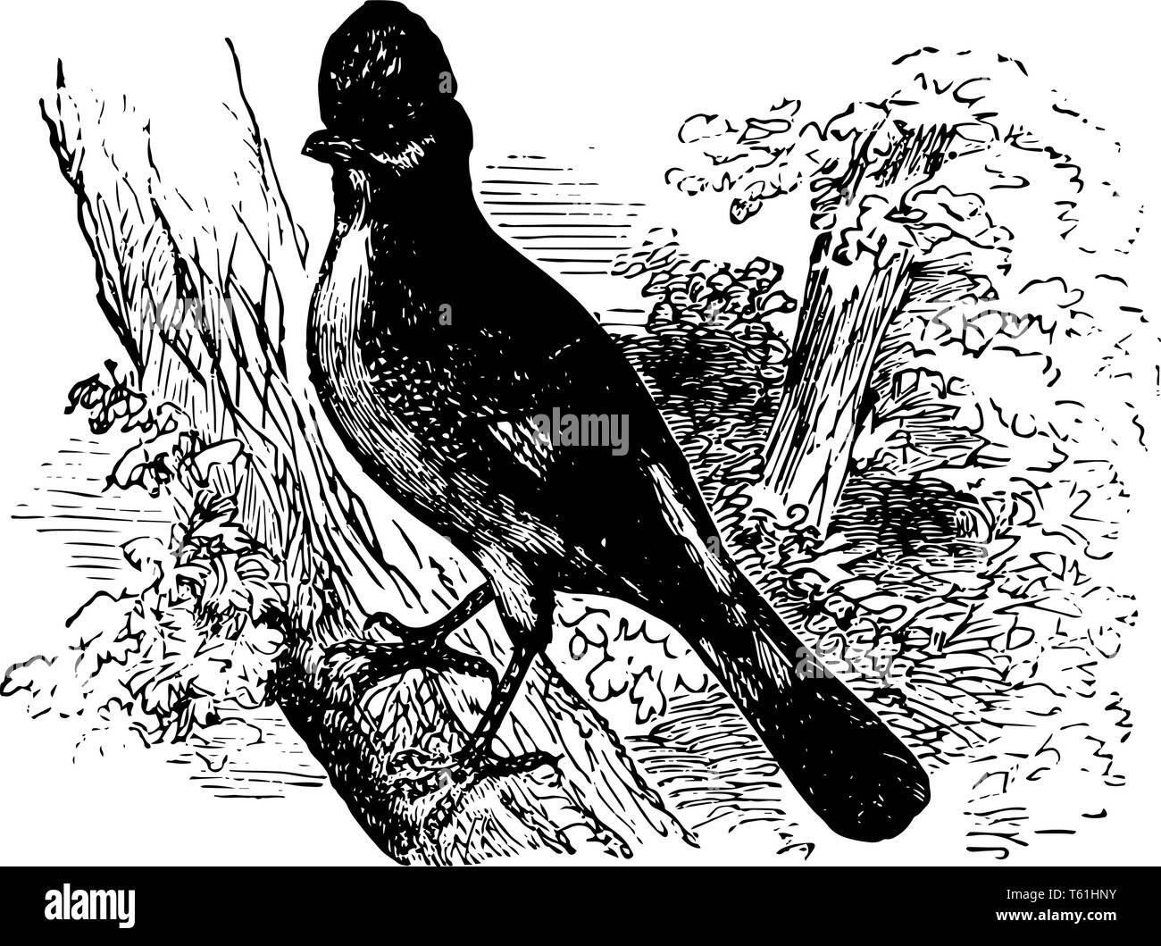 Eurasian Jay is usually birds of right and varied colors vintage line drawing or engraving illustration. - Stock Image