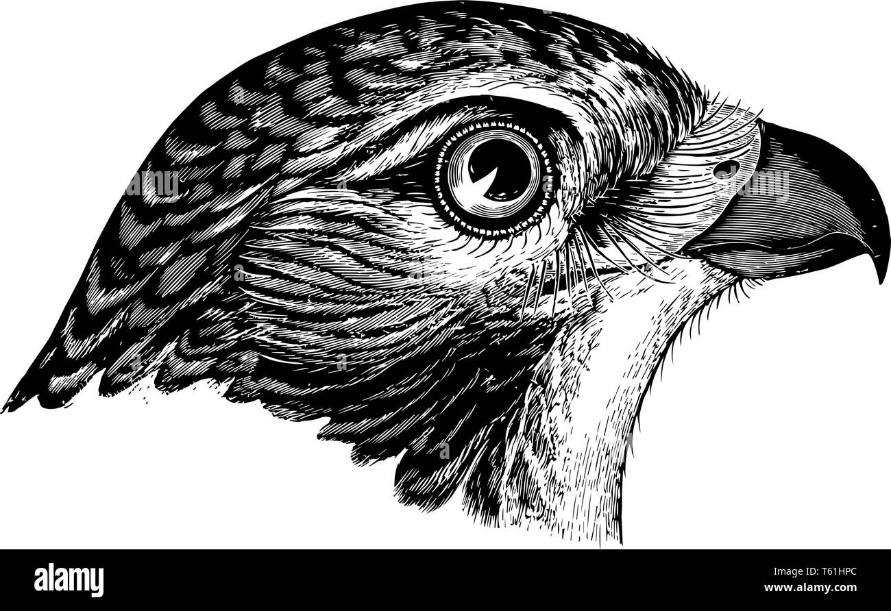 Red tailed Buzzard where the tail appears pearly whitish with a reddish tinge vintage line drawing or engraving illustration. - Stock Vector
