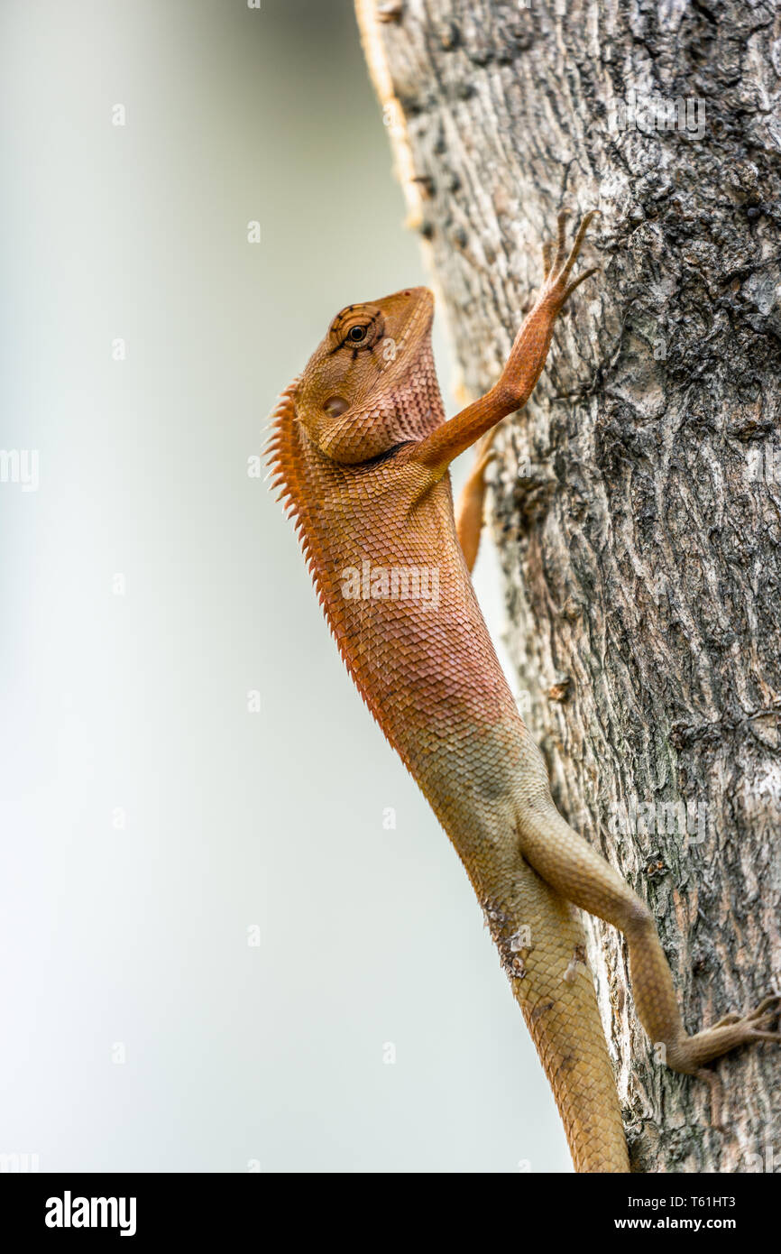 Small chameleon vertical hanging on tree. - Stock Image