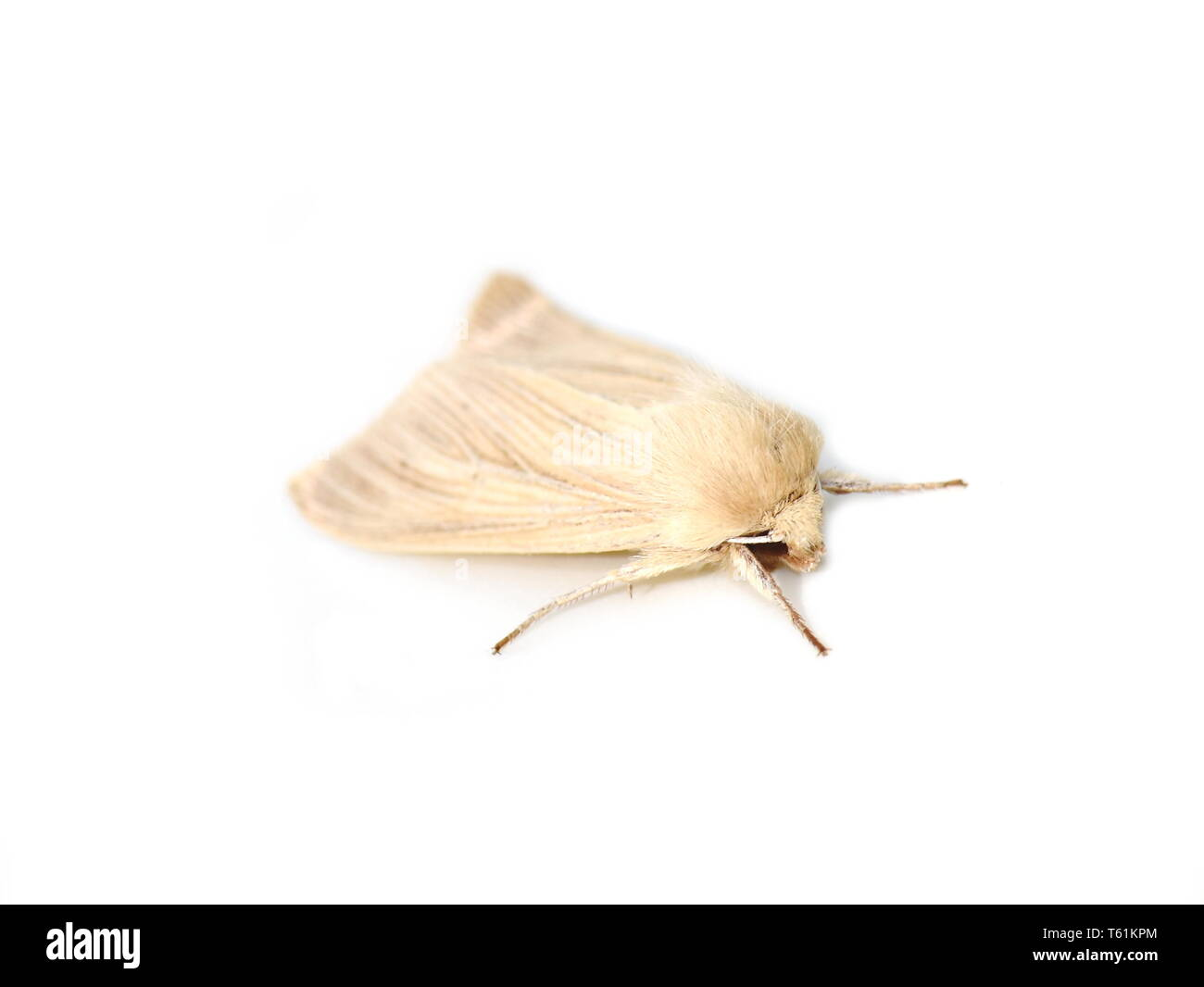 The common wainscot noctuid moth Mythimna pallens isolated on white background - Stock Image