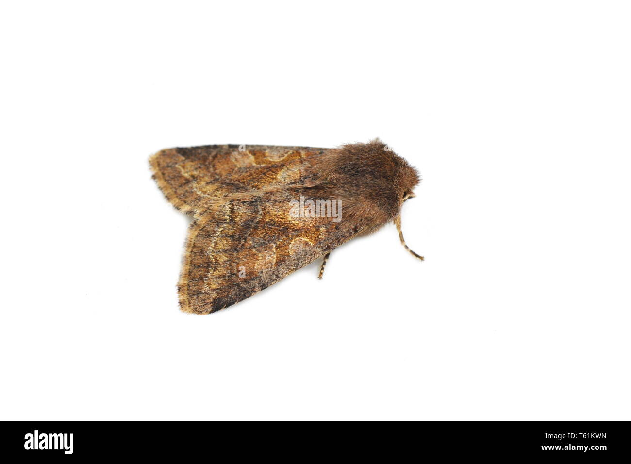 Pale form of Hebrew Character moth Orthosia gothica on white background - Stock Image