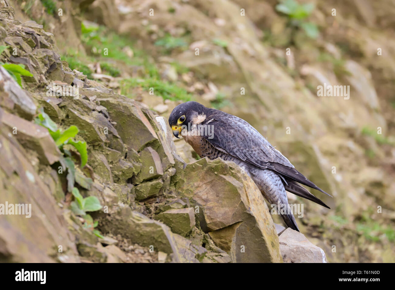 Peregrine Falcon (Falco peregrinus) bird of prey.  Taken in the mid-Wales countryside, Wales, UK - Stock Image
