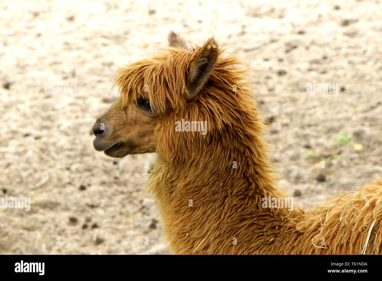Alpaca Lama pacos wild animal - Stock Image