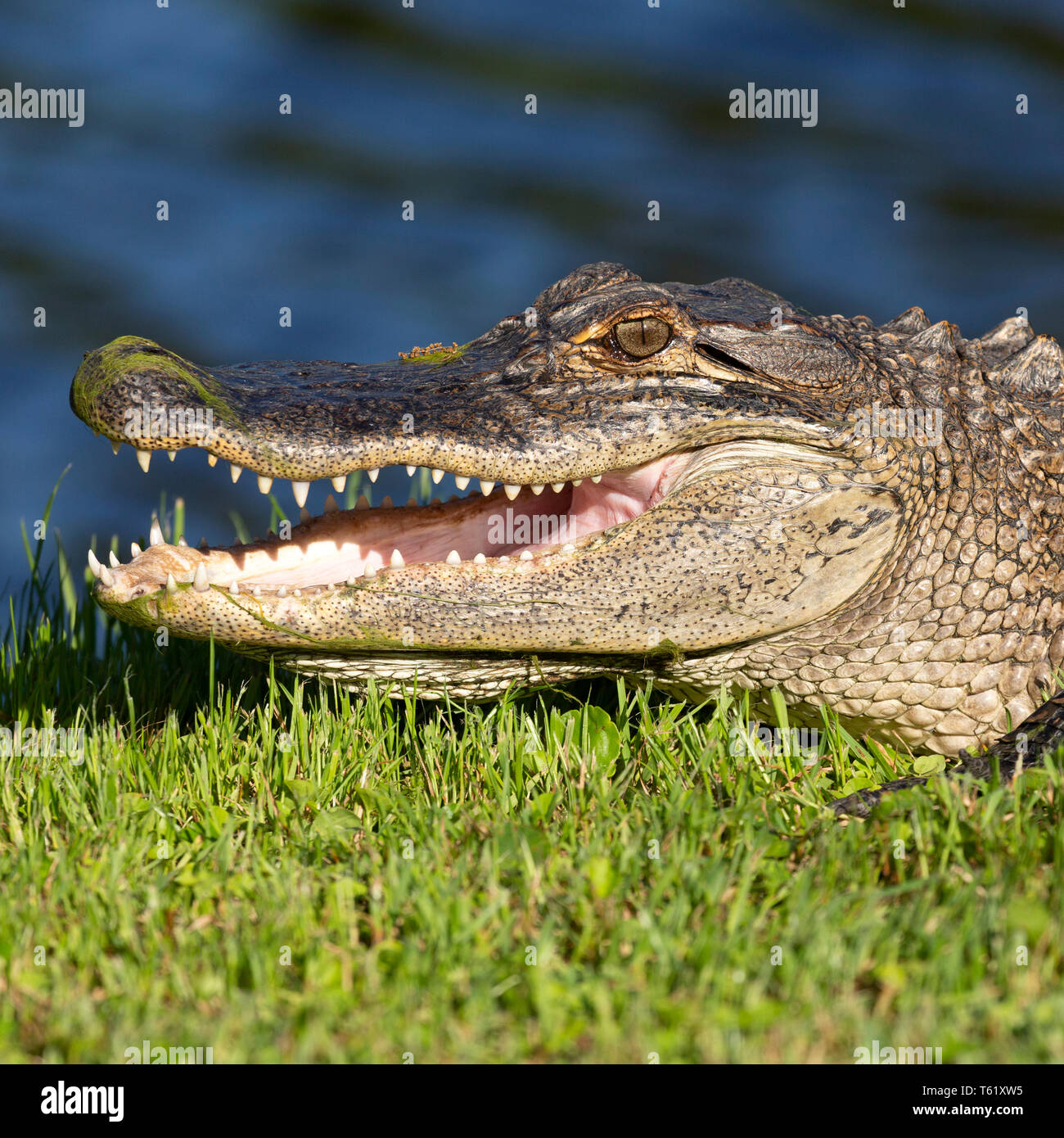 American alligator (Alligator mississippiensis) in Charleston in South Carolina, USA. The creature basks in sunshine by water. - Stock Image