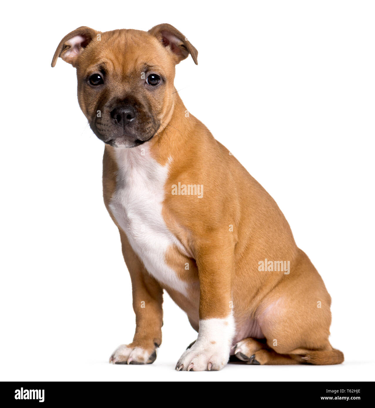 Staffordshire Bull Terrier, 2 months old, sitting in front of white background - Stock Image