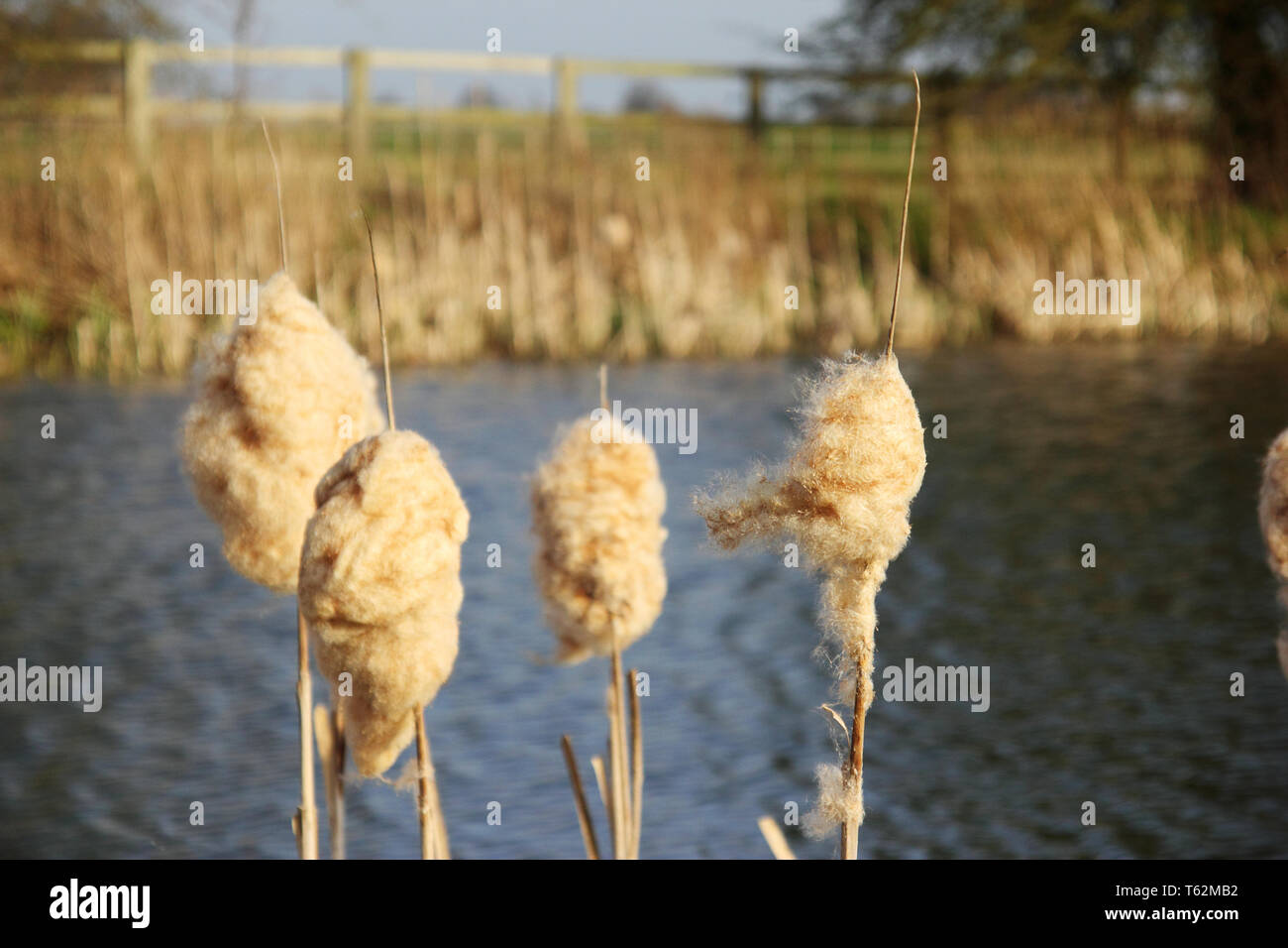 Fluffy Bulrushes seen in front of lake. - Stock Image