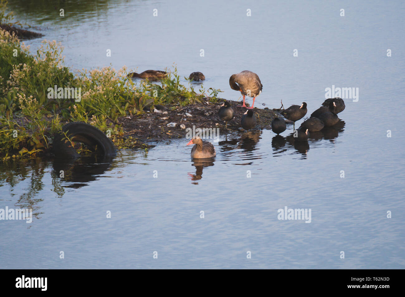 Gooses and Coots birds on side of cosat polution in water car tire Stock Photo
