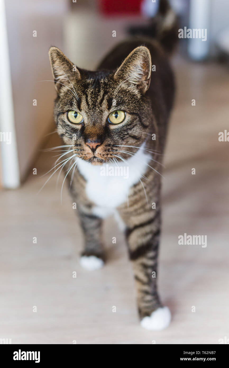 gestreifte Katze Kater stehend zuhause Haustier / striped cat male at home pet Stock Photo