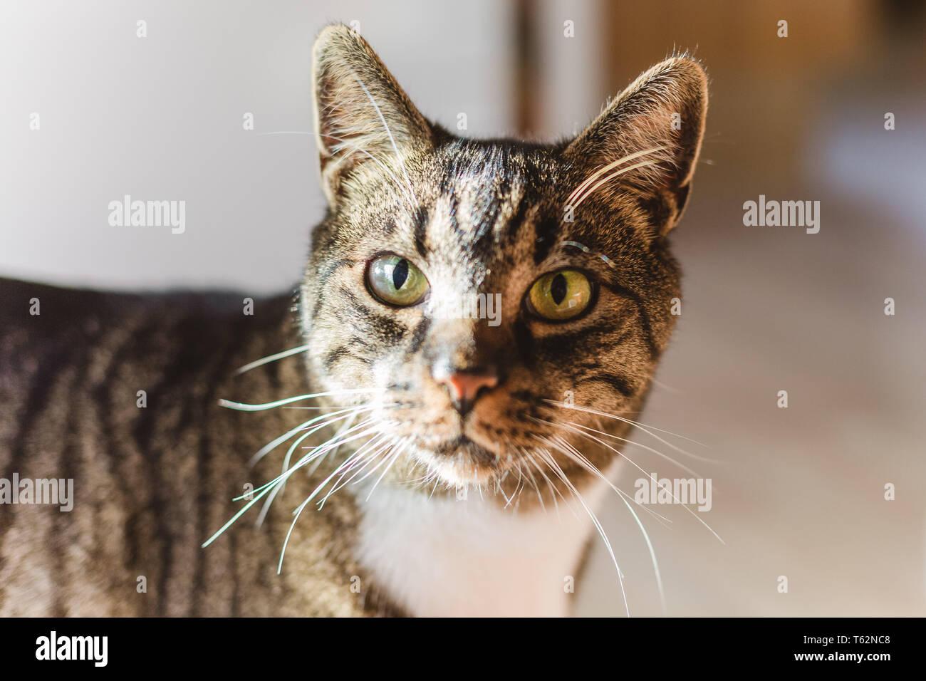 Haustier Katze Kater Augen offen wachsam gestreift / cat male, eyes open, striped, pet Stock Photo