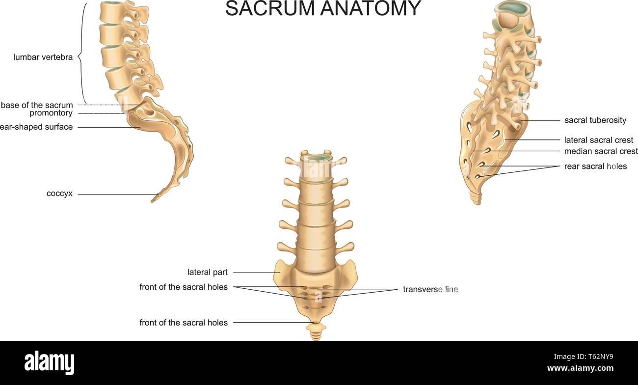 vector illustration of anatomy of the sacrum and lumbar vertebrae - Stock Image