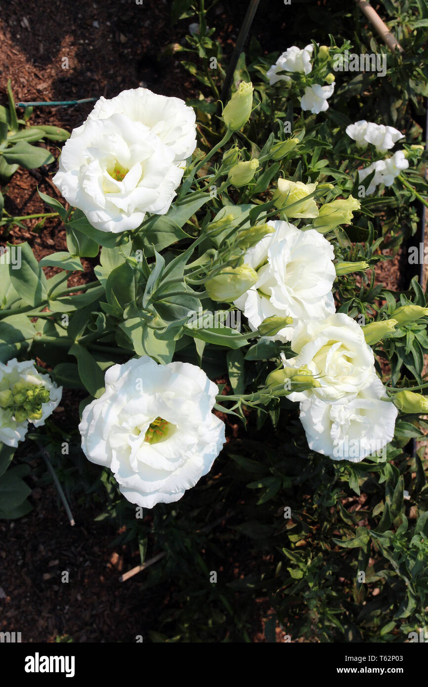 Close up of white Lisianthus flowers and buds - Stock Image