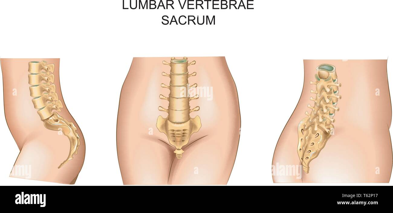 vector illustration of of the sacrum and lower back - Stock Image