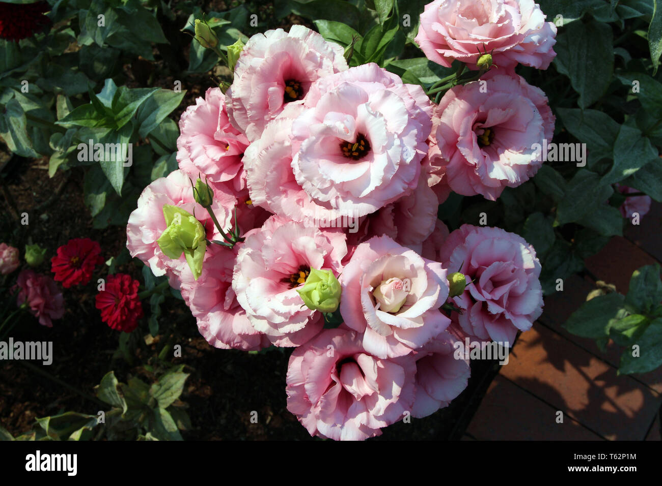 Close up of pink Lisianthus flowers in varying stages of bloom - Stock Image