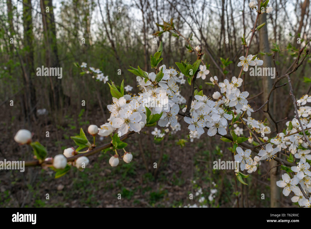 Flowering Flowering Trees In Spring White Flowers Grow In The
