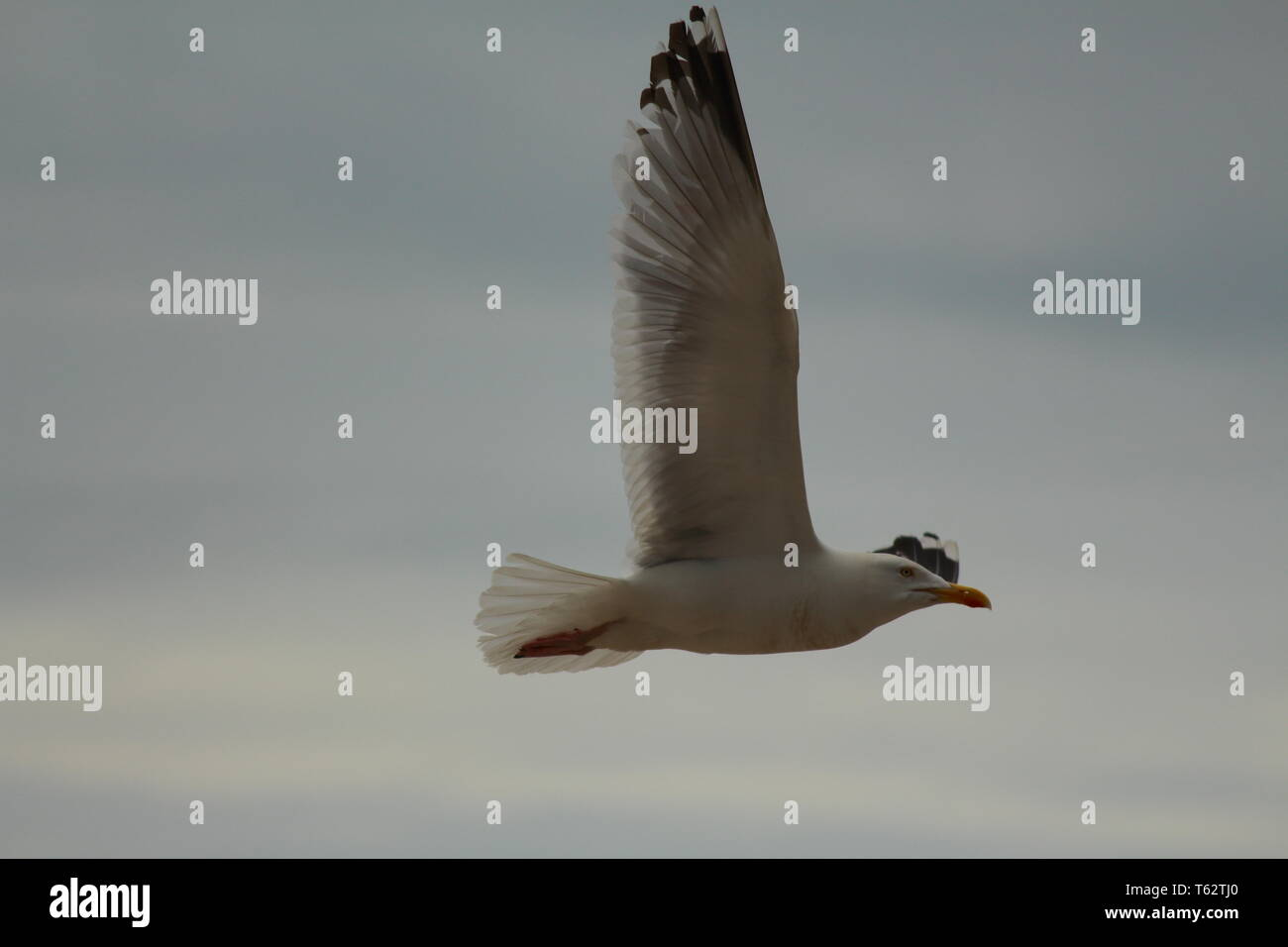 Seagull flying with wings expanded showing off feathers - Stock Image