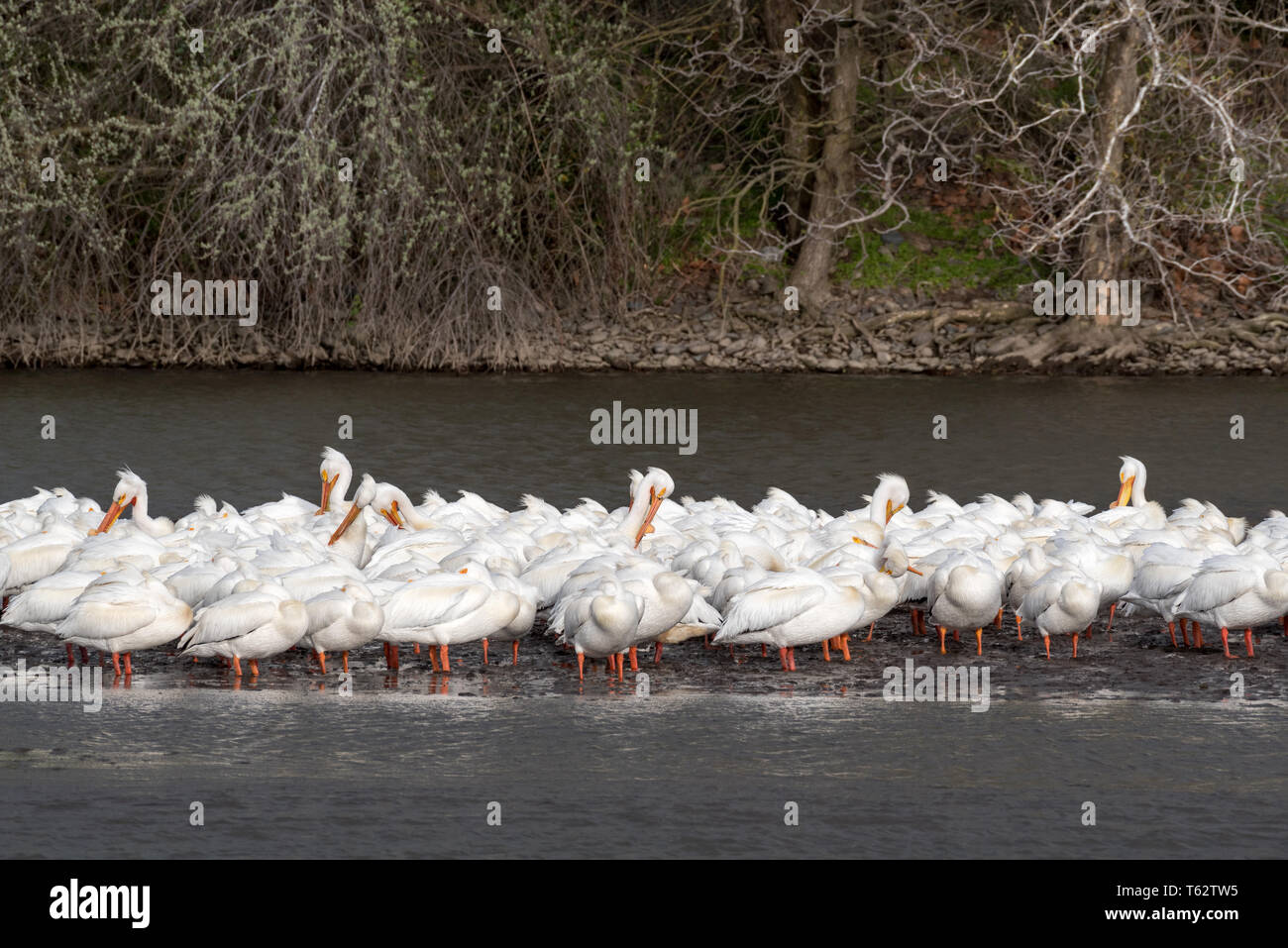 American white pelicans, Pelecanus erythrorhynchos, on the Snake River in Southeastern Washington. Stock Photo
