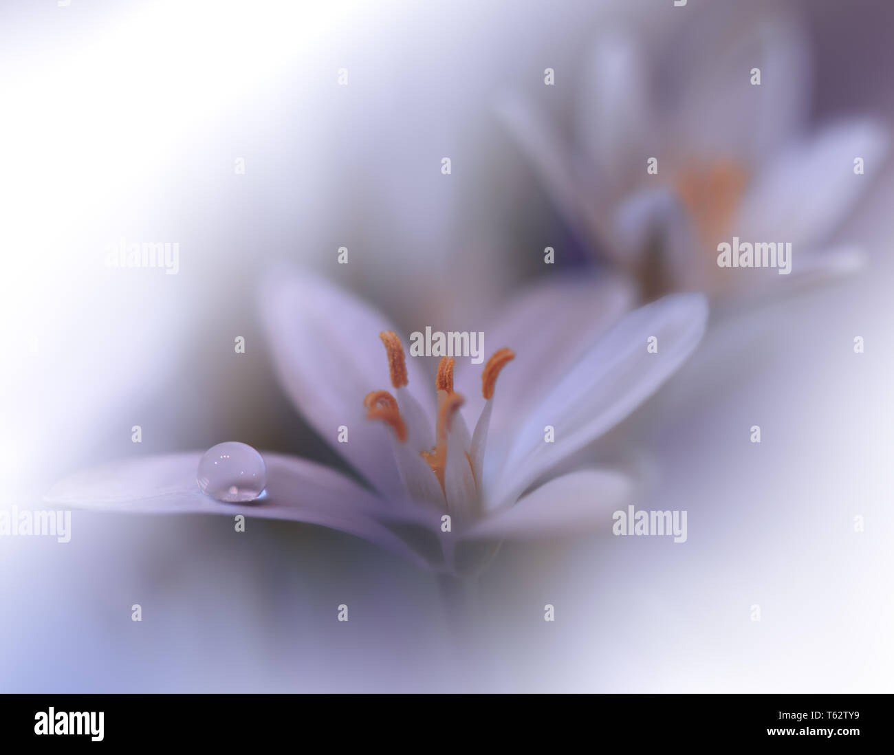 Beautiful White Nature Background Colorful Artistic Wallpaper Natural Abstract Macro Photography Creative Floral Art Design Love Romance Romantic Pure Stock Photo Alamy
