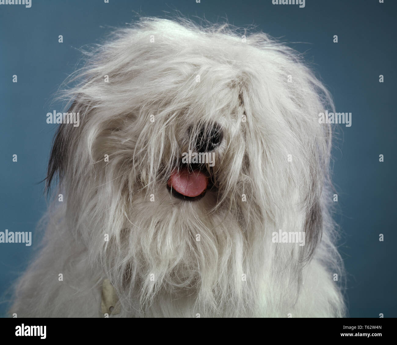 1960s FUNNY HAIRY MESSY MOP HEAD OF BEARDED COLLIE SHEEPDOG PINK TONGUE AND TIP OF BLACK NOSE ARE ALL THAT IS VISIBLE - kd1675 HAR001 HARS SHEPHERDS USED CONCEPTUAL BREED COMPANION FRIENDLY POPULAR STYLISH TIP SHAGGY VISIBLE BOUNCY CANINE GRAY LEVEL LOVABLE MAMMAL HAIRY HAR001 OLD FASHIONED - Stock Image