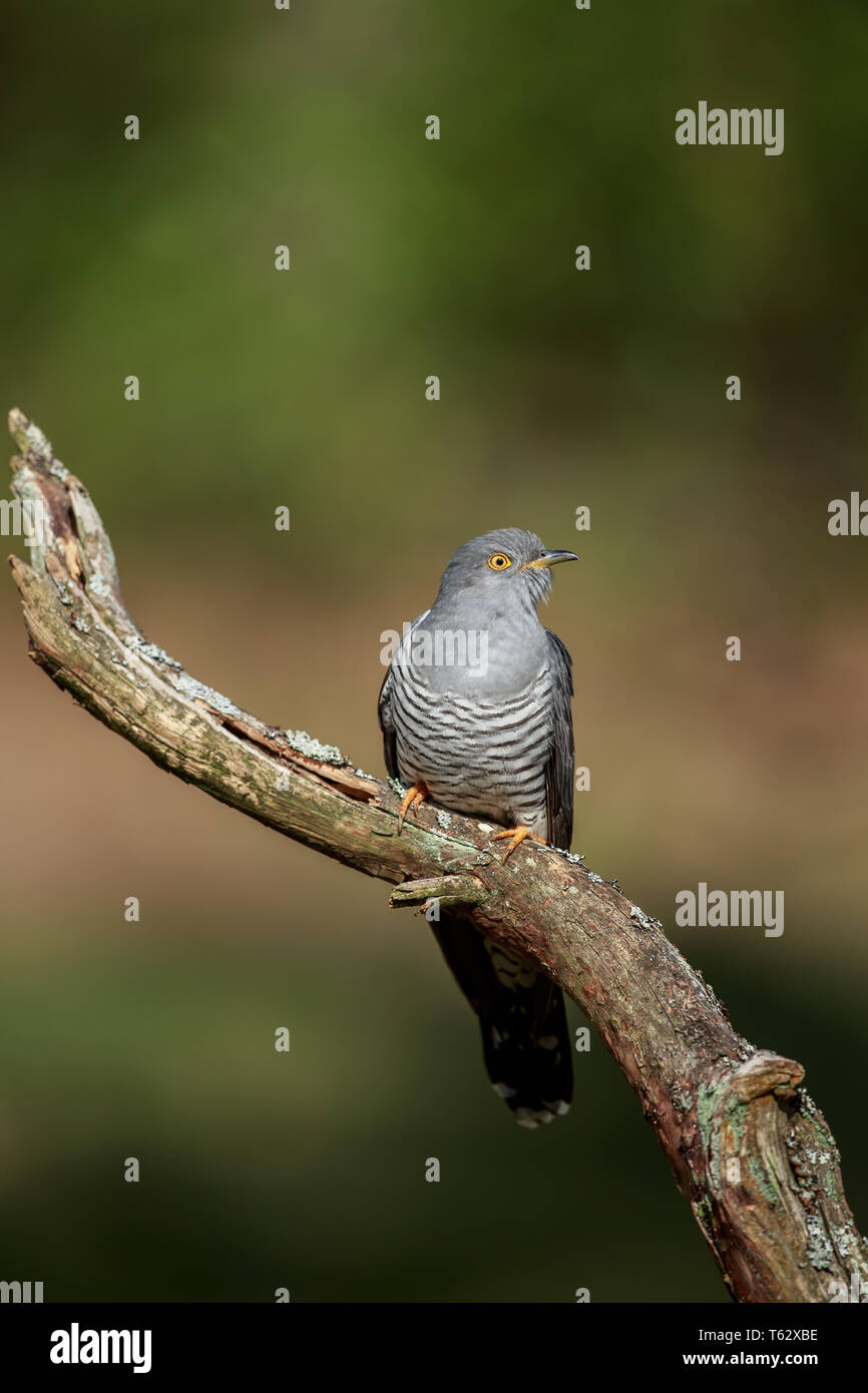 The common cuckoo is a member of the cuckoo order of birds, Cuculiformes, which includes the roadrunners, the anis and the coucals. - Stock Image