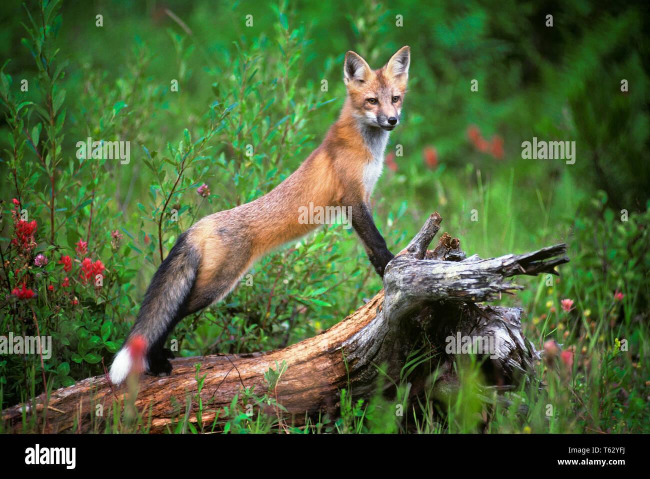 RED FOX Vulpes vulpes STANDING ON LOG - kz4440 ULR001 HARS BUSHY CLEVER CURIOUS ECOLOGY SLIM VULPES SMART TRICKY BIG EAR CANINE SLENDER STUMP VEGETATION VULPES VULPES WILDLIFE CURIOSITY FAUNA INTELLIGENCE - Stock Image