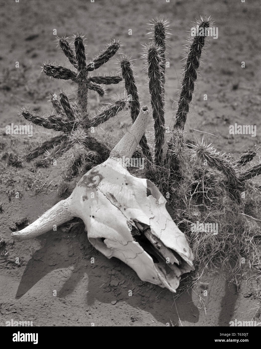 DRIED BLEACHED SKULL OF STEER LYING IN DIRT NEXT TO DESERT CACTUS - s4122 HAR001 HARS CONCEPTS DROUGHT BLACK AND WHITE HAR001 OLD FASHIONED REPRESENTATION SOUTHWESTERN - Stock Image