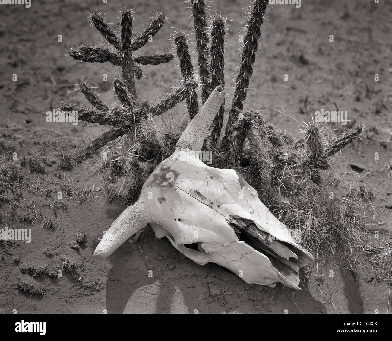 DRIED BLEACHED SKULL OF STEER LYING IN DIRT NEXT TO DESERT CACTUS - s4125 HAR001 HARS CONCEPTS DROUGHT BLACK AND WHITE HAR001 OLD FASHIONED REPRESENTATION SOUTHWESTERN - Stock Image