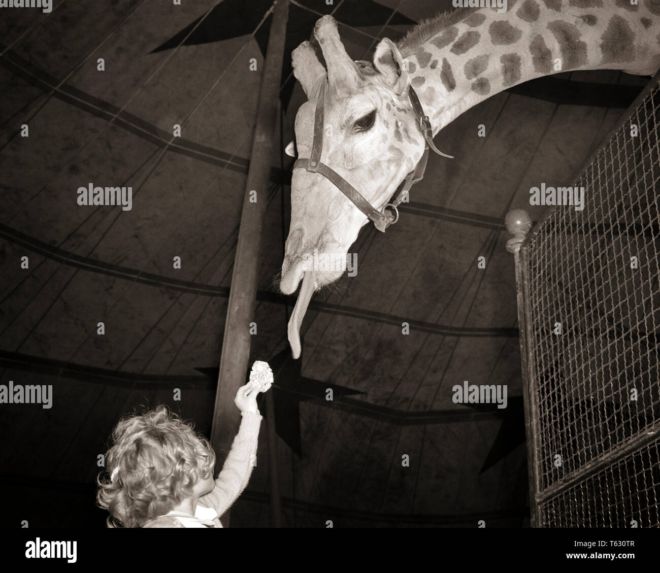 1950s ANONYMOUS GIRL AT THE ZOO OFFERING FOOD TO GIRAFFE TRYING TO  REACH IT WITH HIS TONGUE - z222 HAR001 HARS ZOO CONNECTION COMEDY ANONYMOUS JUVENILES OFFERING BIG AND LITTLE BLACK AND WHITE CAUCASIAN ETHNICITY HAR001 OLD FASHIONED SHORT AND TALL - Stock Image