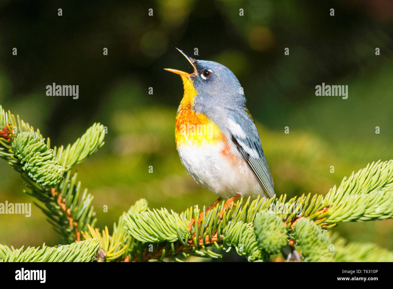 northern parula, Setophaga americana, male singing in spring time, Nova Scotia, Canada - Stock Image