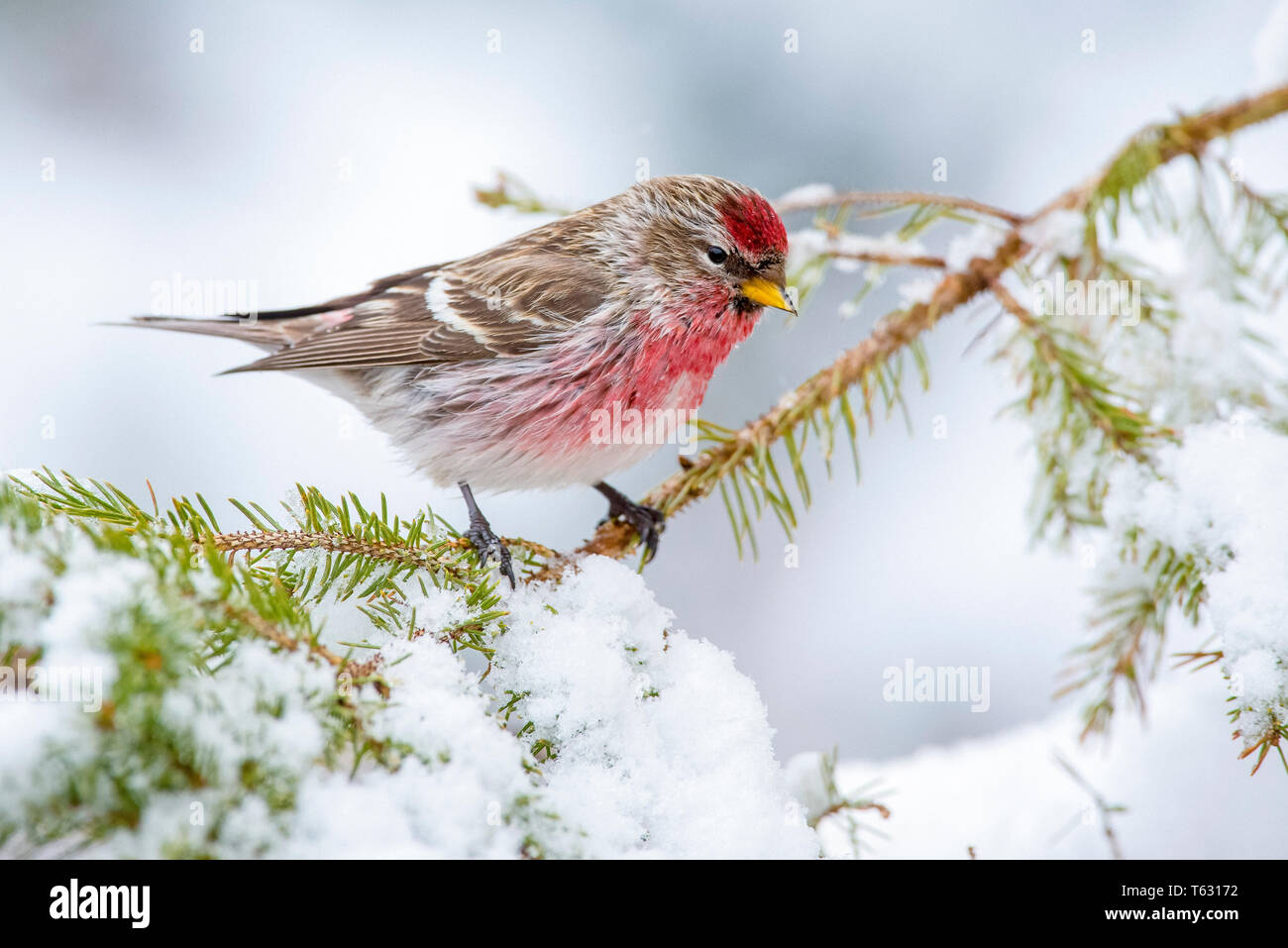 common redpoll, Acanthis flammea, in winter, Nova Scotia, Canada Stock Photo