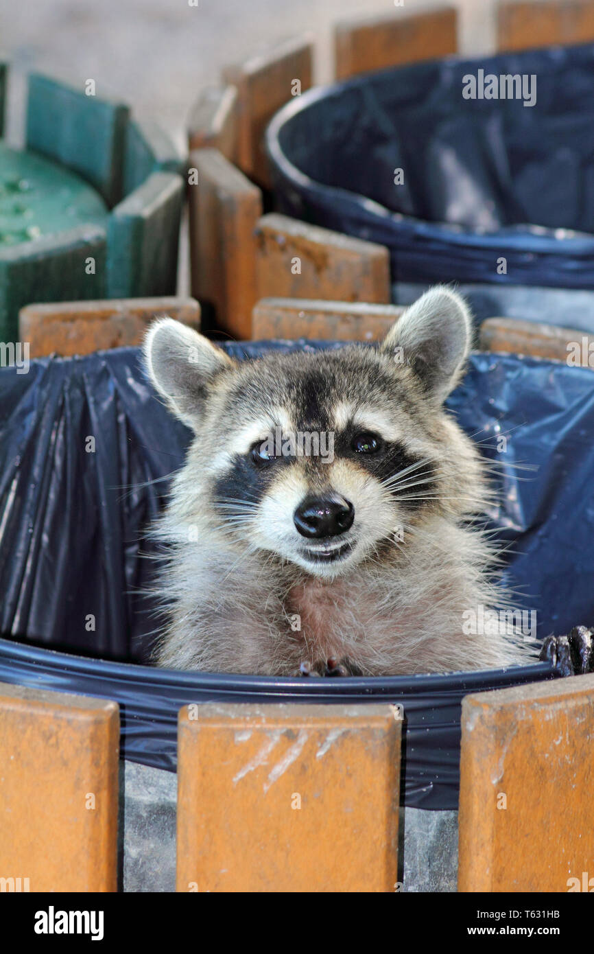 Cute Raccoon, Procyon lotor, in a garbage can looking out - Stock Image