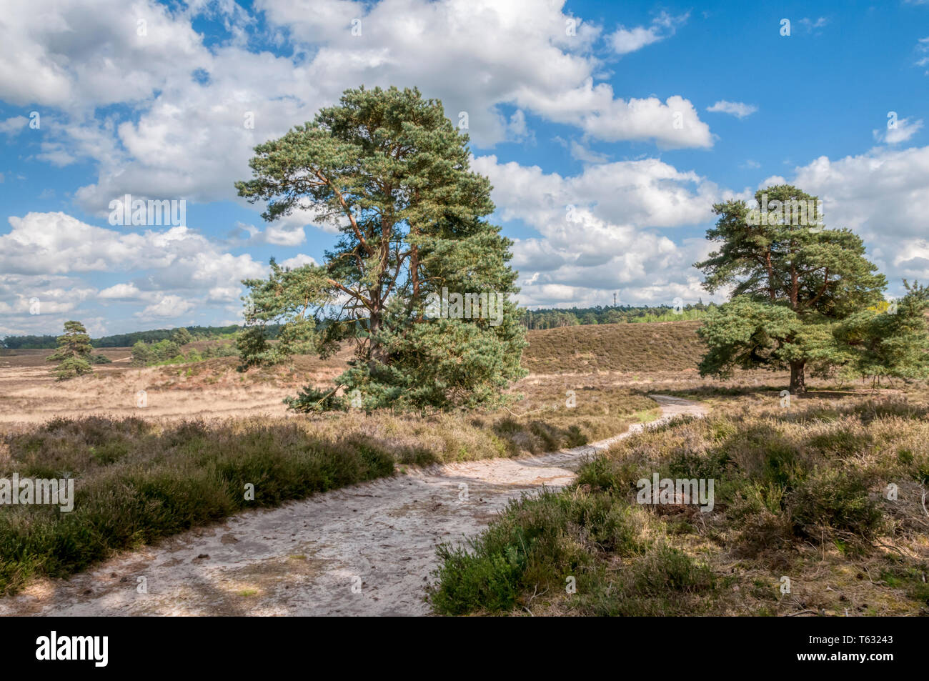 Scots pines, Pinus sylvestris, in Dersingham Bog, Norfolk.  It is the largest remaining example of acid valley mire habitat in East Anglia. - Stock Image