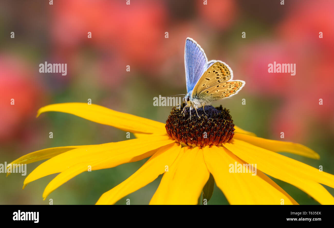 Butterfly common blue Polyommatus icarus feeding on nectar from a flowering yellow coneflower in a summery garden, Germany - Stock Image