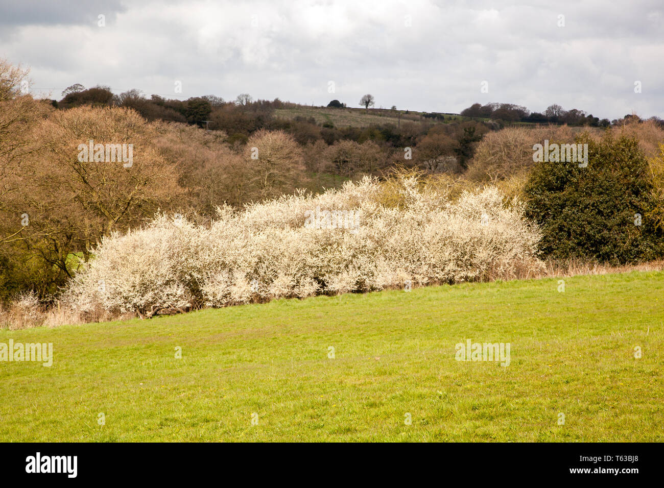 Blackthorne thicket  Prunus spinosa a native deciduous tree of the English countryside also known as Sloe Stock Photo
