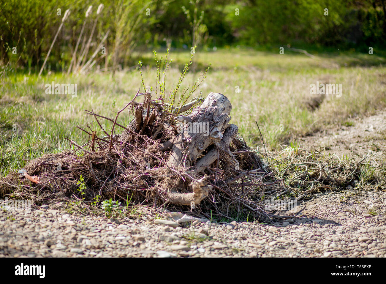 The death of olive trees due to constructing a road trees are getting brutally killed, chopped down and torned apart trashing the roots, branches and  - Stock Image