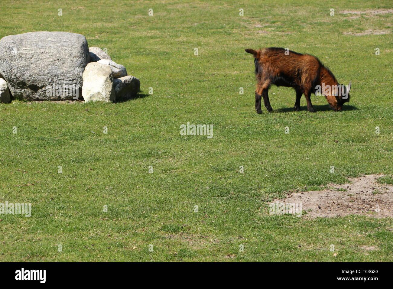 Ziege in einem Tiergehege in Brouwershaven in Holland Stock Photo