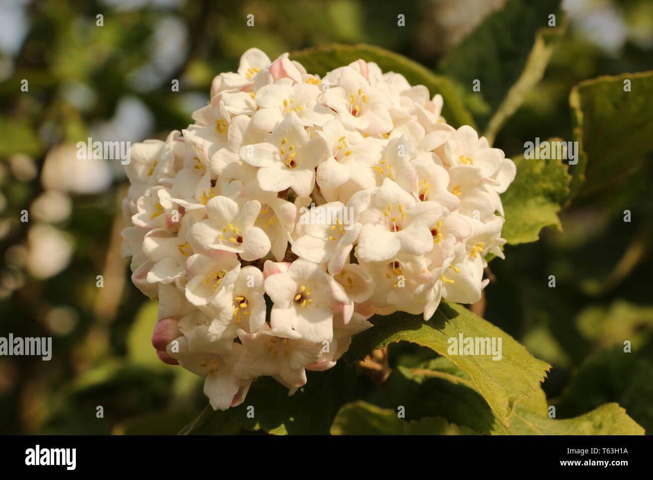Blütenzauber in der Provinz Zeeland in Holland - Stock Image