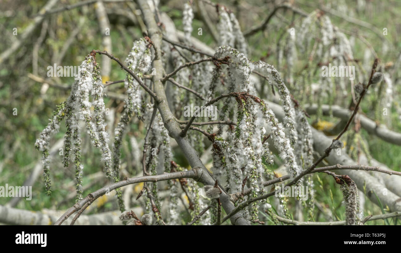 Poplar fluff that spreads in springtime and cause allergies for some people. - Stock Image