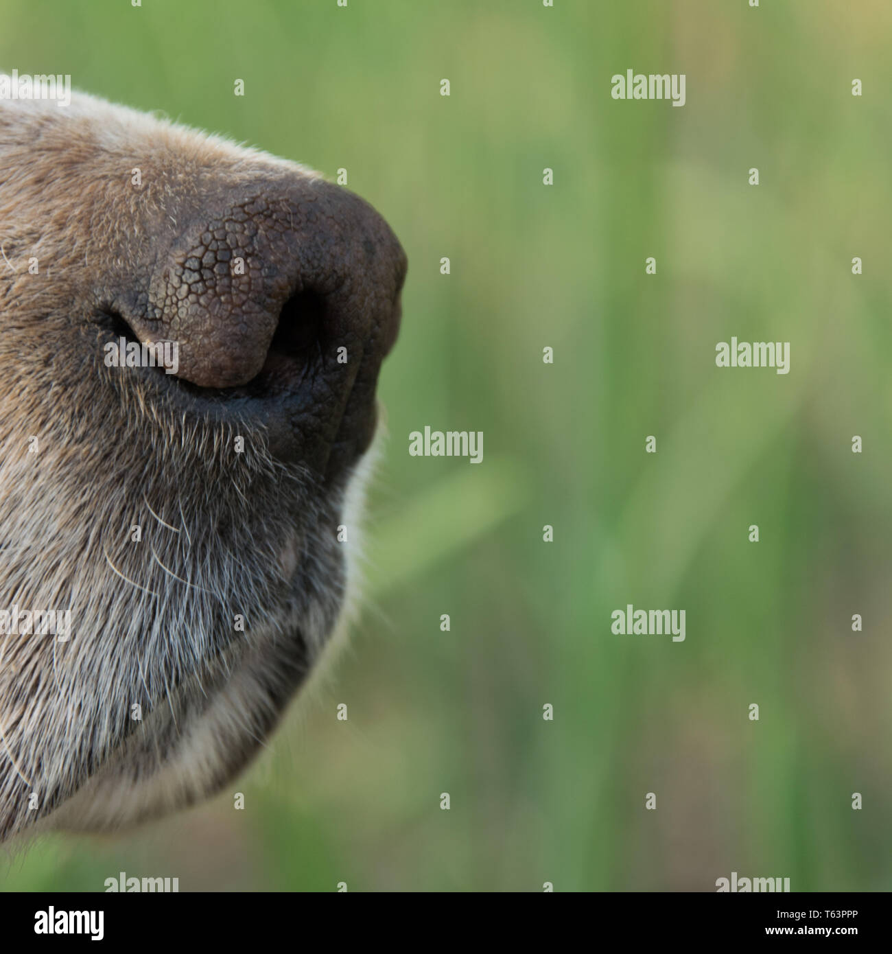 Close up view of (English setter) dog nose, space for text - Stock Image