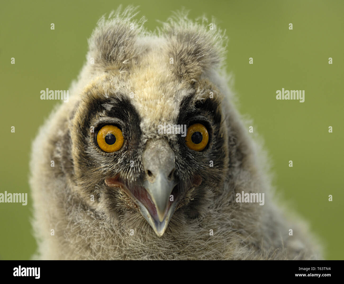 Long-eared owl, Asio otus, Europe - Stock Image