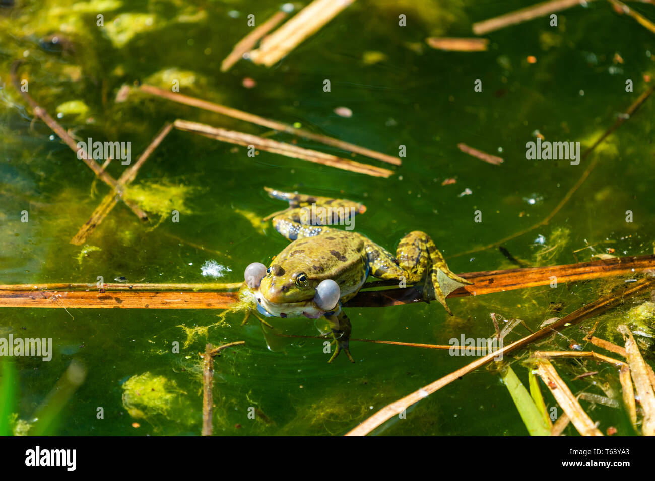 Marsh frog (Pelophylax ridibundus) sitting in a pond croaking with inflated vocal sacs - closeup with selective focus - Stock Image