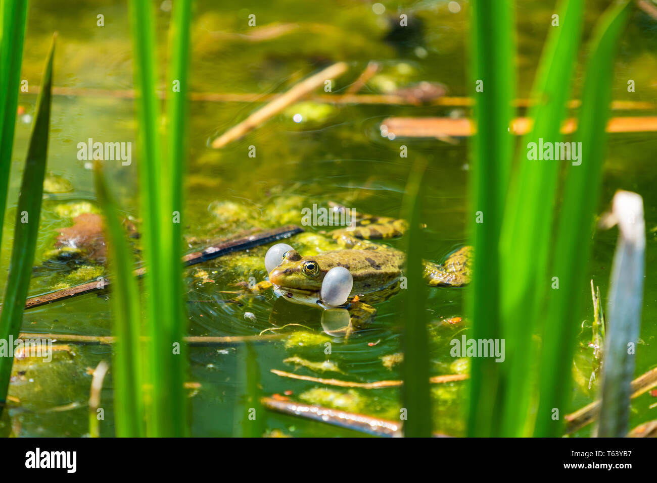 Marsh frog (Pelophylax ridibundus) sitting in a pond croaking with inflated vocal sacs - Stock Image