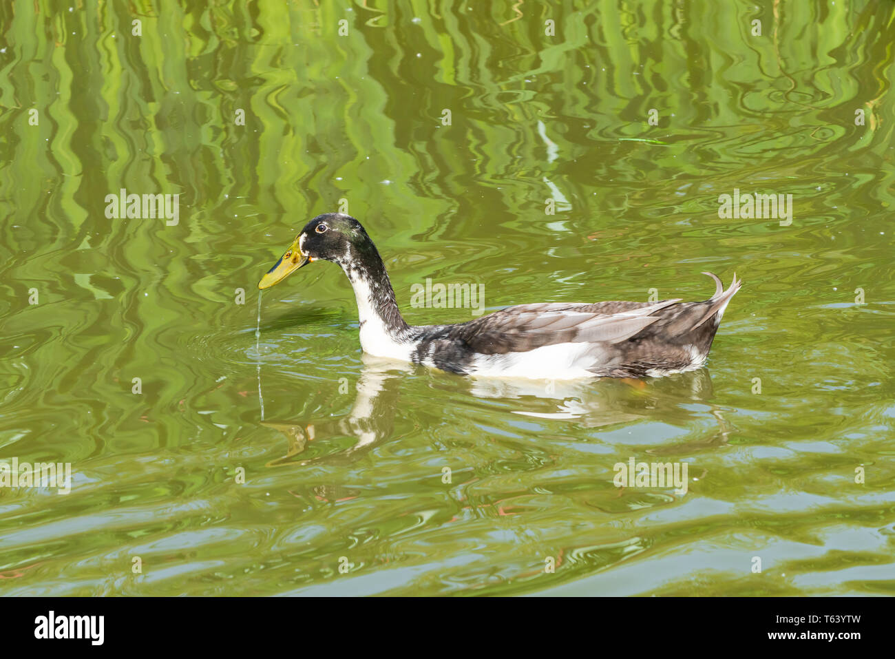 Indian runner duck (Anas platyrhynchos domesticus) on a lake - Stock Image