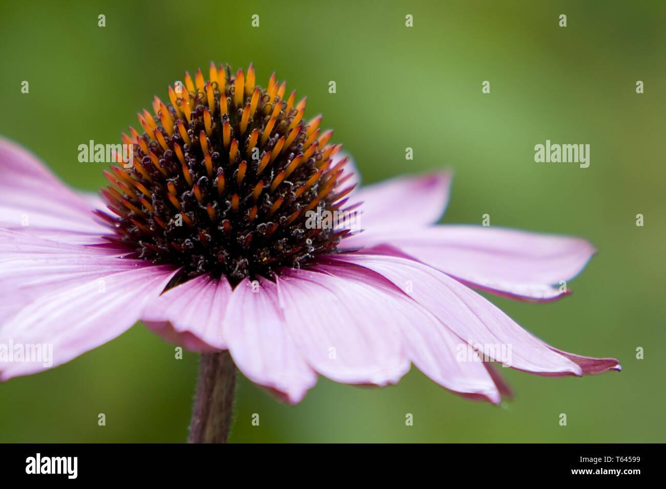 Coneflower (Rudbeckia, Ratibida, Echinacea) - Stock Image